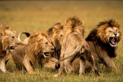 Simba Adventure Safari